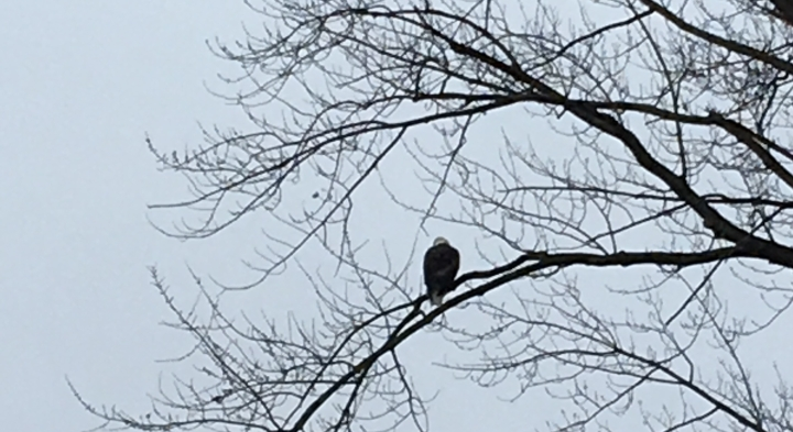A bald eagle faces away from the camera, sits high in a leafless tree in late winter