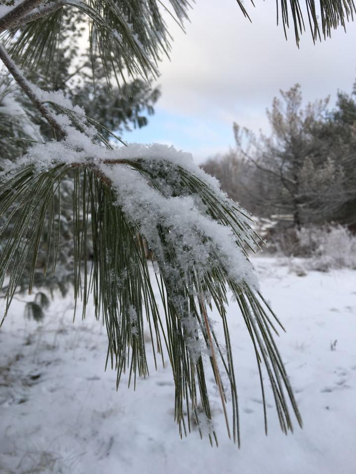 White pine needles covered in light snow