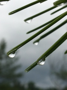 Water droplets collect at the tips of pine needles, ready to drop.