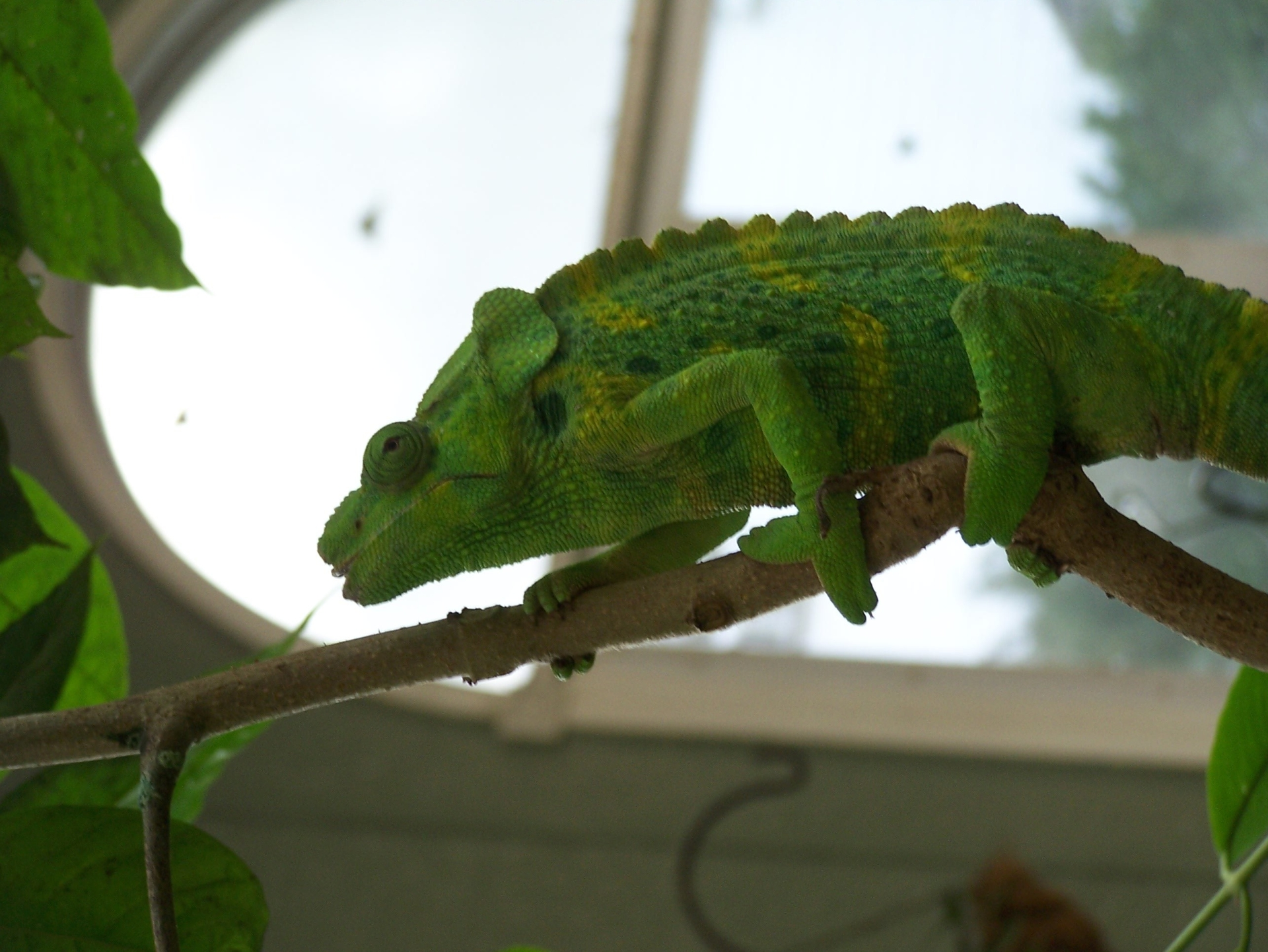 A chameleon walking up a tree branch in a butterfly conservatory.